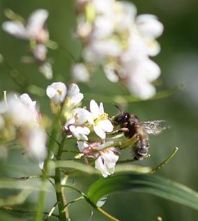 apiculture amandes